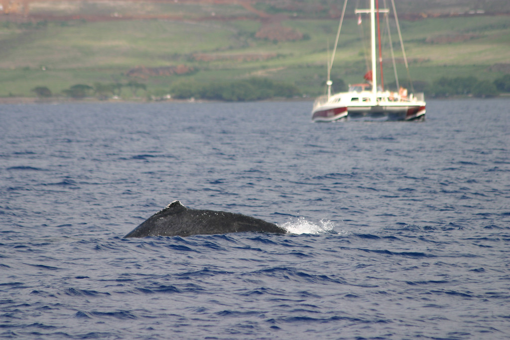 Humback Whale Dorsal Fin