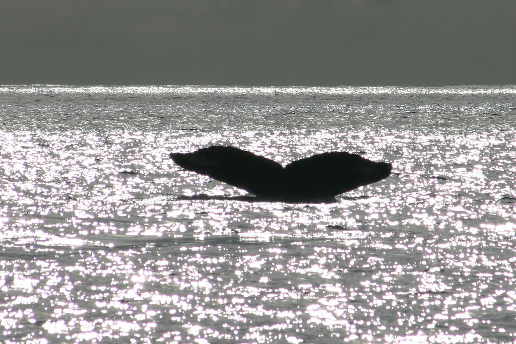 Whale Tail Silouette