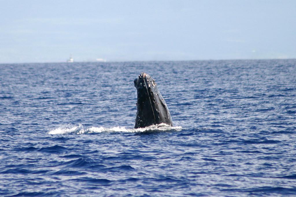 Humpback Whale Spy-Hop