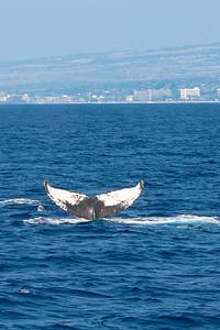 Humpback Whale off Lahina, Maui