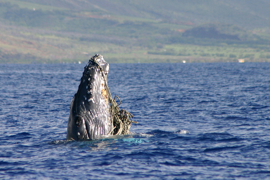 Young Humpback Entangled in Rope or Net