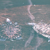 Turtles in Lagoon - Hilton Hawaiian Village - Honolulu, O'ahu, Hawaii - April 23-29, 2003