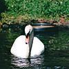 White Mute Swan - Hilton Hawaiian Village - Honolulu, O'ahu, Hawaii - April 23-29, 2003