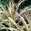 Pineapple Plant - Lyon Arboretum - Honolulu, O'ahu, Hawaii - April 23-29, 2003