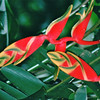 Heliconia Plants - Manoa Falls - Honolulu, O'ahu, Hawaii - April 23-29, 2003