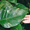 Large Leaf - Manoa Falls - Honolulu, O'ahu, Hawaii - April 23-29, 2003