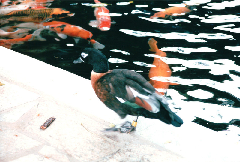 Female Wood Duck at Koi Pond - Hilton Hawaiian Village - Honolulu, O'ahu, Hawaii - April 23-29, 2003
