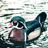 Male Breeding Wood Duck - Hilton Hawaiian Village - Honolulu, O'ahu, Hawaii - April 23-29, 2003