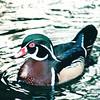 Male Breeding Wood Duck - Hilton Hawaiian Village - Honolulu, O'ahu, Hawaii - April 23-29, 2003