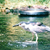 Black-crowned Night Heron - Hilton Hawaiian Village - Honolulu, O'ahu, Hawaii - April 23-29, 2003