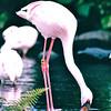 Flamingo - Hilton Hawaiian Village - Honolulu, O'ahu, Hawaii - April 23-29, 2003