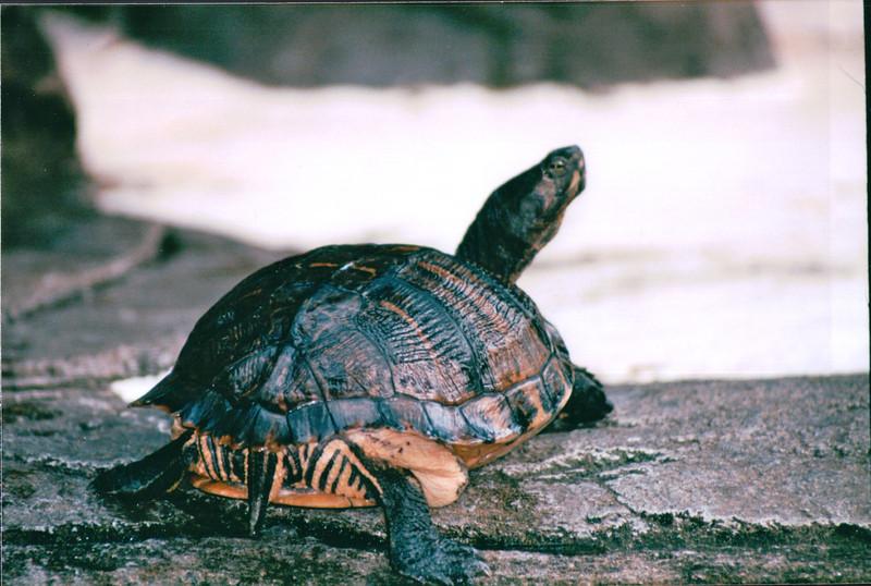Turtle at the Lagoon Area - Hilton Hawaiian Village - Honolulu, O'ahu, Hawaii - April 23-29, 2003