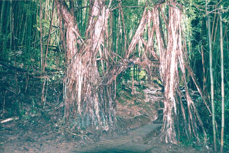 Bamboo Cut Through to Make Archway - Manoa Falls - Honolulu, O'ahu, Hawaii - April 23-29, 2003