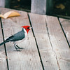 Red-crested Cardinal - Honolulu, O'ahu, Hawaii - April 23-29, 2003