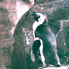 African Penguins in Lagoon - Hilton Hawaiian Village - Honolulu, O'ahu, Hawaii - April 23-29, 2003