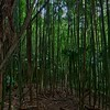 A bamboo jungle.