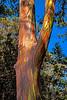 Eucalyptus 6786