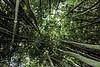 Bamboo 6515