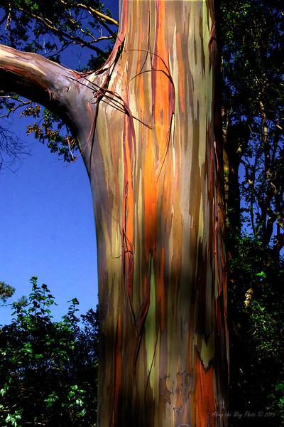 Eucalyptus 7959