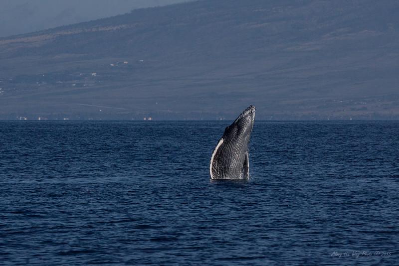 Whale 7123