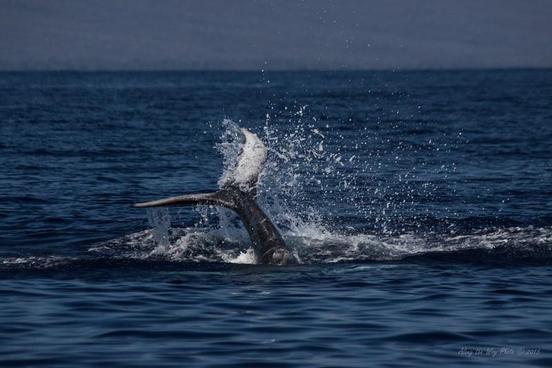 Whale 7031