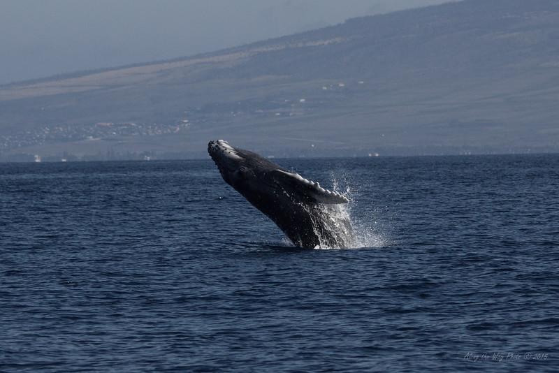 Whale 7158