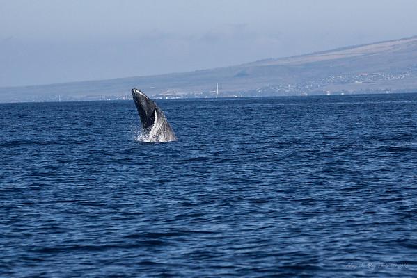 Whale 7161