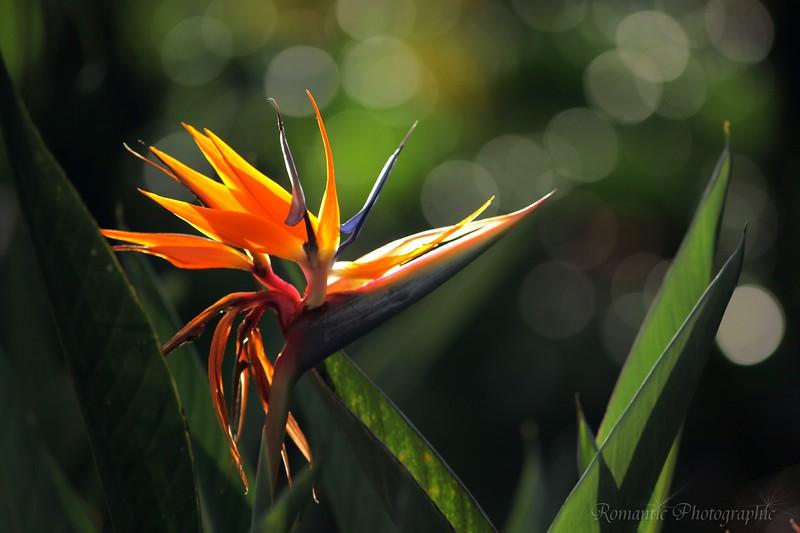 Morning light strikes a tropical flower.