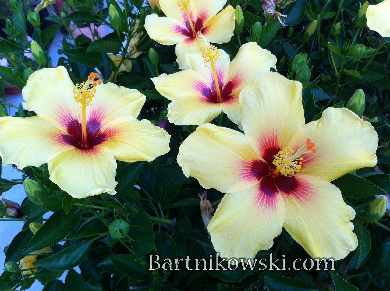 Happy Hibiscus Hawaii