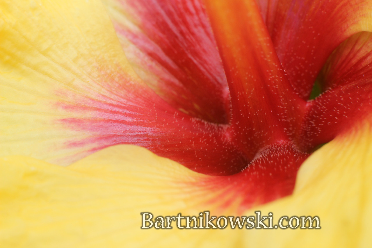 Secrets of a Hibiscus