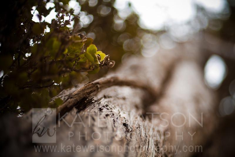 'Ohia Lehua Tree