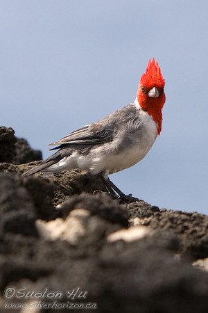 Red-Crested Cardinal with a mohawk