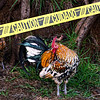 caution rooster