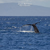 The humpback whales were making themselves conspicuous at times.