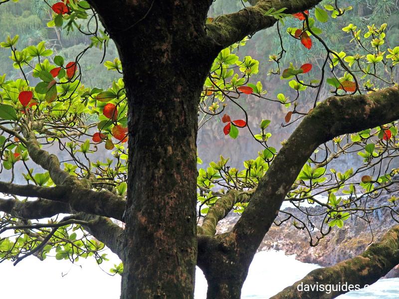 Coastal tree at Hawaii Tropical Botanical Garden, Big Island