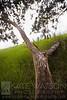 Waimea Tree