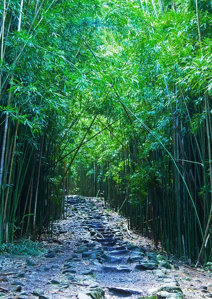 Bamboo forrest, Maui