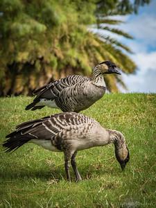 Nene geese - Kauai
