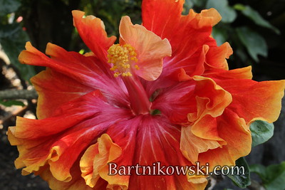 Mind Blowing Ballerina Hibiscus