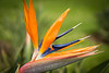 Bird-of-Paradise flower, Wailea, Maui