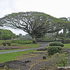 Tree in Liliuokalani Gardens, Hilo