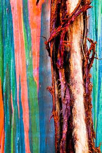 Rainbow Eucalyptus.