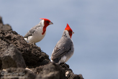 Pair of Red-Crested Cardinals on the rocks near Sandy Beach Park, Oahu