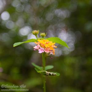 Lantana Flower.