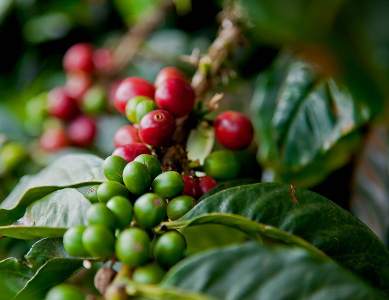 Coffee fruit at O'o farm