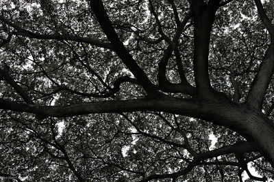 Lungs of McBryde Garden.  B/W treatment highlights the contrast between branches and leafy canopy.