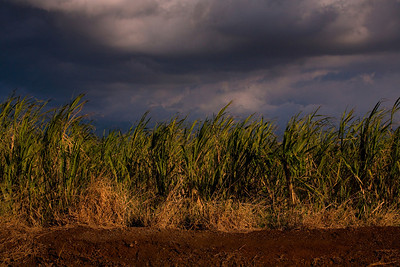 Sugar cane is the predominant crop of central Maui.