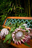 Protea flowers, in Makawao, Maui