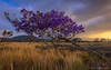 Jacaranda at sunset - Pu'u Wa'a Wa'a State Park