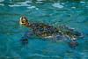 Sea turtle (Honu) near Poipu